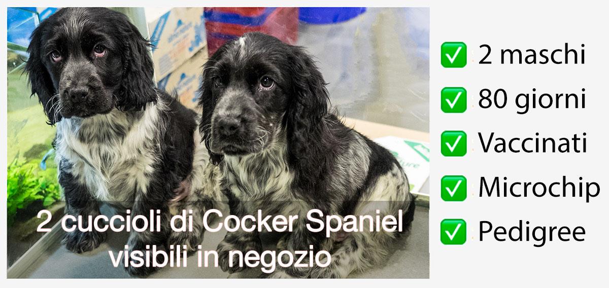 Cuccioli Di Cocker Spaniel Disponibili In Negozio Big River Baloo